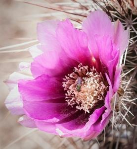 Cactus_Flowers-2-3