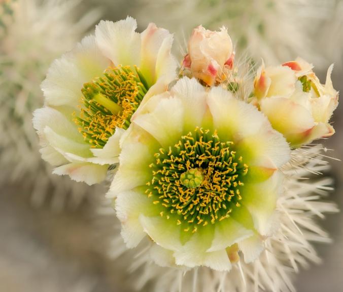 Cactus_Flowers-2-7