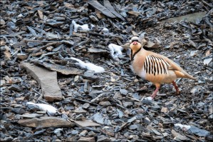 Rocky Road | Chukar Partridge