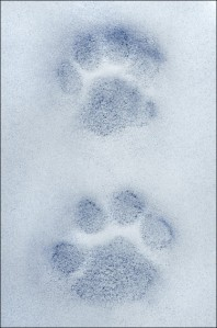 Snow Leopard paw prints.