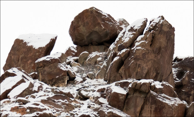 Snow Leopard near the summit of mountain in Hemis National Park, India.