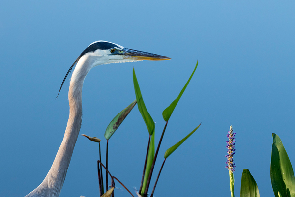 Great Blue Heron -- © Bruce Taubert
