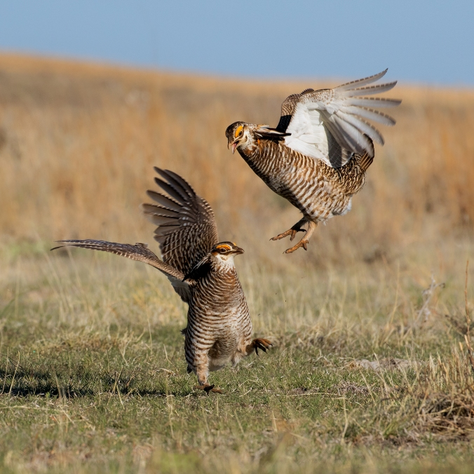 Greater Prairie Chicken -- © Bruce Taubert