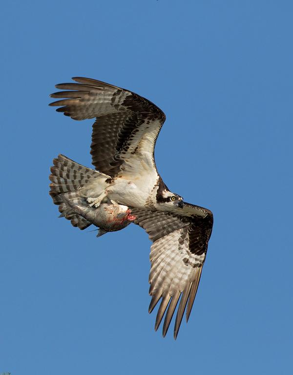 Osprey -- © Bruce Taubert
