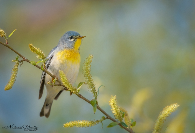Seeds Of Spring | Northen Parula Warbler