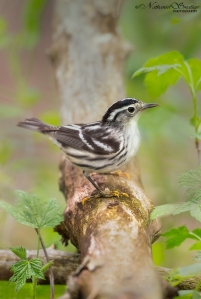 Warden Of The Woods | Black and White Warbler