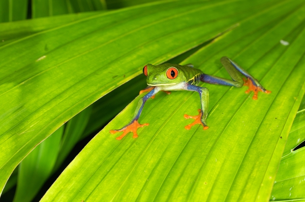 red-eyed treefrog blog