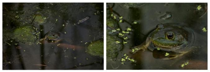 frogs final