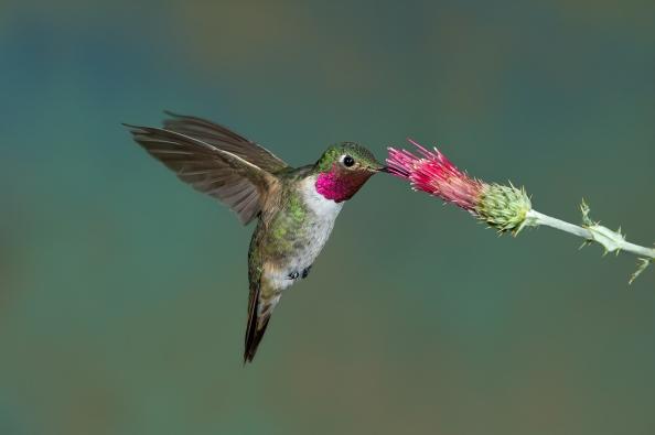Broad-tailed Hummingbird male. Payson, AZ