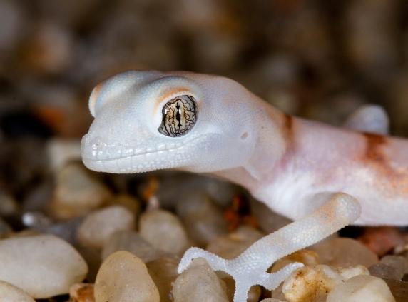 Macro Photography - Gecko