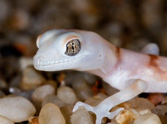 Macro Photography - Gecko