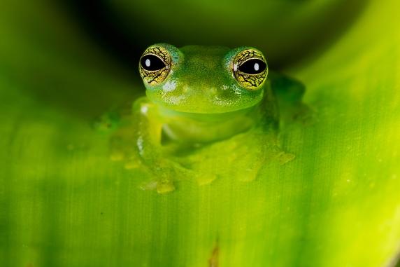 Macro Photography - Glass Frog