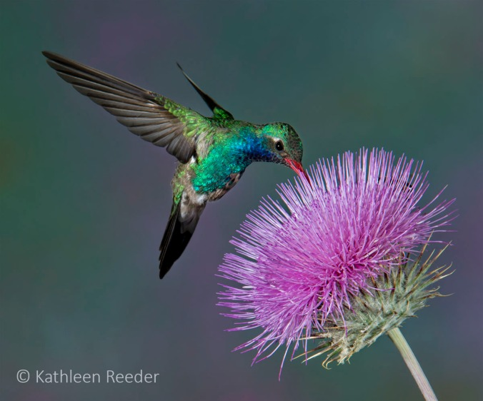 Male Broad-billed hummingbird, photographed in Southern Arizona 2012-04-13_296