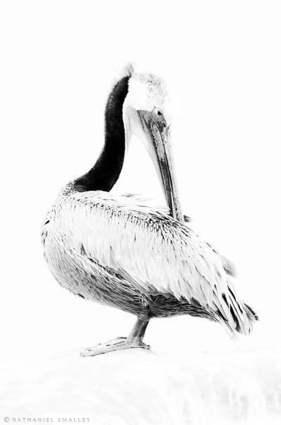 Brown Pelican – This image utilizes fine art & behavior. Camera: Nikon D4s & Nikon 600mm Lens – Iso 1,250 | f-7.1 | 1/100 sec. @ 600mm
