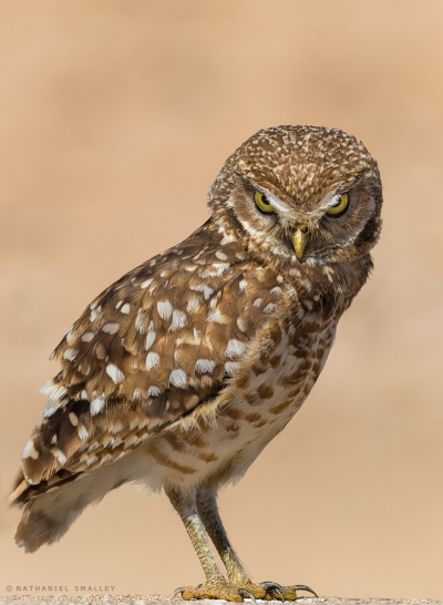 Burrowing Owl – This image utilizes personality & behavior. Camera: Nikon D4s & Nikon 600mm Lens – Iso 200 | f-6.3 | 1/3200 sec. @ 600mm