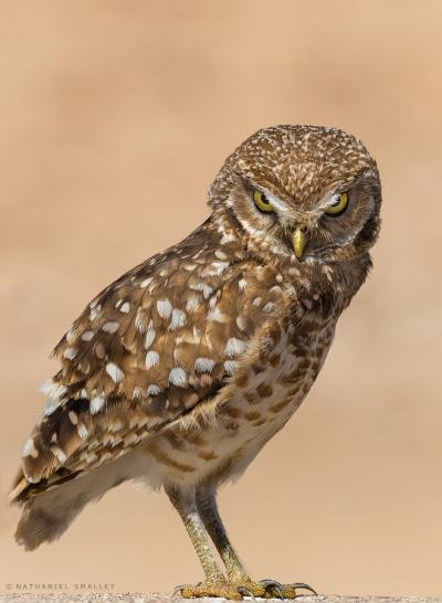 Burrowing Owl – This image utilizes personality & behavior. Camera: Nikon D4s & Nikon 600mm Lens – Iso 200 | f-6.3 | 1/3200 sec. @ 600mm