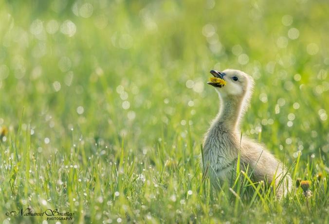 Canada Goose – This image utilizes light (dramatic), perspective & depth of field. Camera: Nikon D800e & Nikon 600mm Lens – Iso 1,000 | f-6.3 | 1/2000 sec. @ 600mm