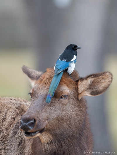 The Height Of Audacity | Elk and Magpie