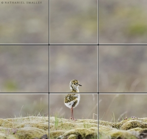 Golden Plover chick – This image utilizes perspective & depth of field. Camera: Nikon D4s & Nikon 600mm Lens – Iso 1,000 | f-6.3 | 1/320 sec. @ 600mm
