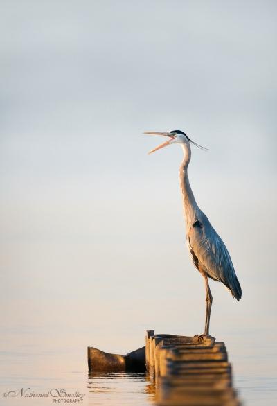 Great Blue Heron – This image utilizes action & behavior. Camera: Nikon D800e & Nikon 600mm Lens – Iso 800 | f-4 | 1/3200 sec. @ 600mm