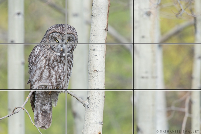 Great Gray Owl – This image utilizes habitat, depth of field & perspective. Camera: Nikon D800e & Nikon 600mm Lens w/ 1.4x Teleconverter – Iso 400 | f-8 | 1/320 sec. @ 850mm