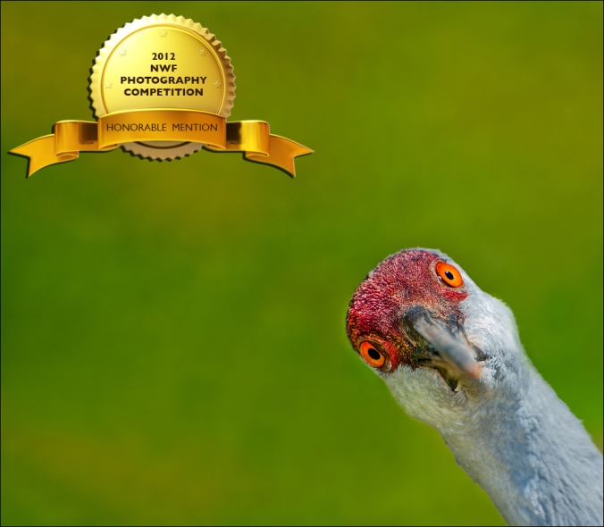Sandhill Crane – This image utilizes humor & personality. Camera: Nikon D700 & Nikon 70-200mm Lens w/ 2x Teleconverter – Iso 200 | f-5.6 | 1/640 sec. @ 400mm