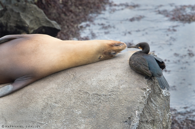 Sea Lion-Cormorant