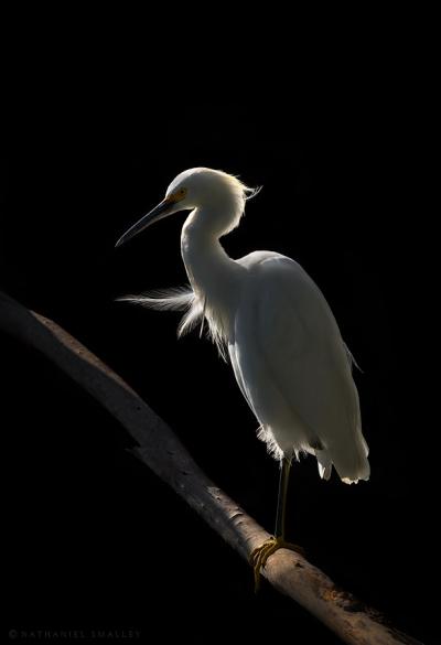 Snowy Egret – This image utilizes light (dramatic). Camera: Nikon D4s & Nikon 600mm Lens – Iso 100 | f-8 | 1/1000 sec. @ 600mm