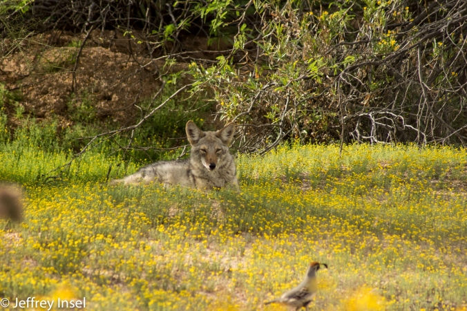 Coyote and Quail