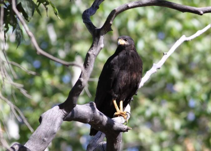 Common Black-Hawk - Cornville, Arizona in Page Springs Hatchery