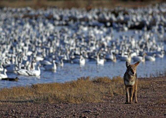 Snow Geese and Coyote - San Antonio, New Mexico in Bosque Del Apache