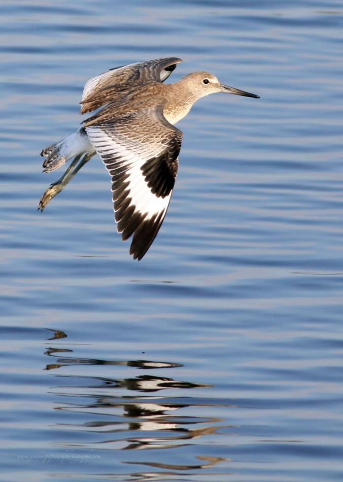 Willet - Huntington Beach, California in Bolsa Chica Wetlands