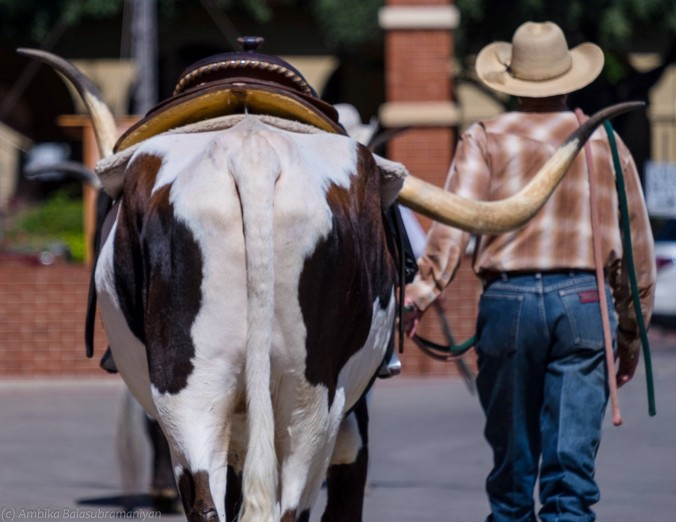 Best Buddies - The Longhorn Mascot of the Fort worth Stockyards