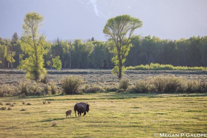 bison-landscape