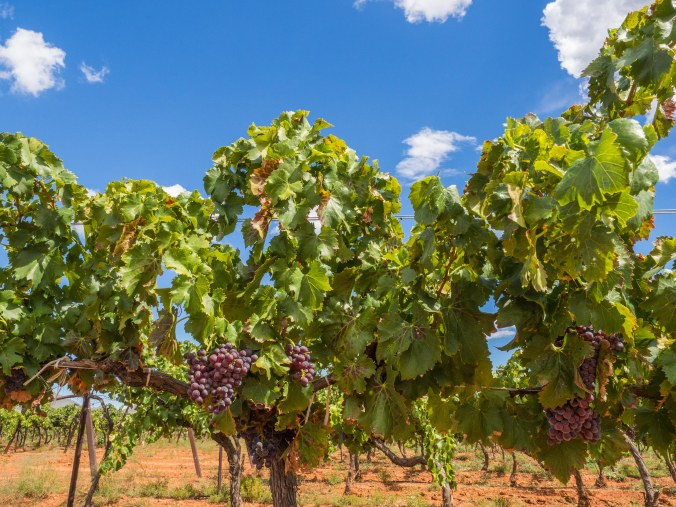 Dark wine grapes are all that remain to be harvested by early October 2016 in the Sonoita area. Harvesting schedules vary each year depending on sugar content of the fruit as well as weather and other factors.