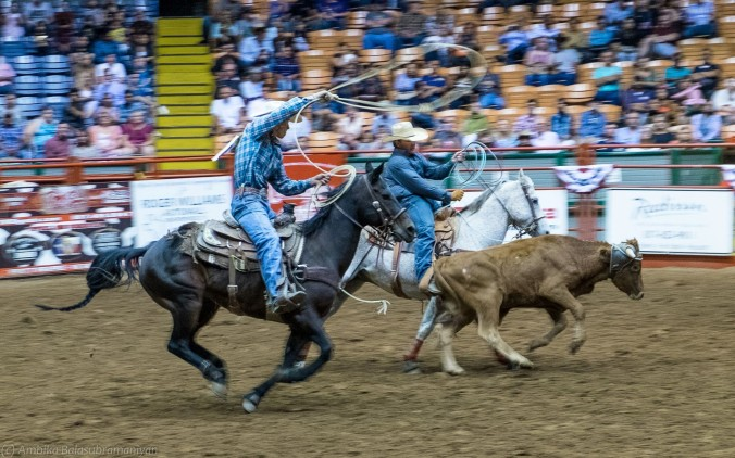 Team Roping: Lots of action between the cowboys, horses the calf and the ropes!