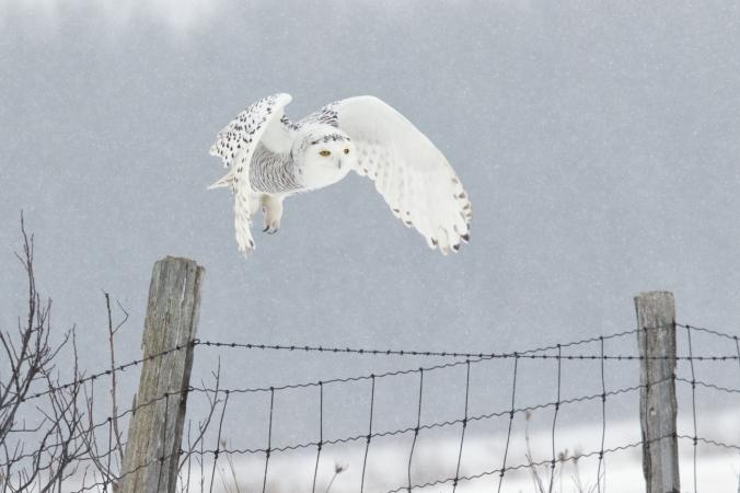 bruce-d-taubert_snowy-owl-4