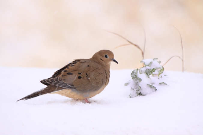 d_bdt_mourning-dove-in-snow-32