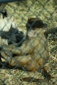 f/5.6, 1/2000, 400mm, but baboon is too close to fence.